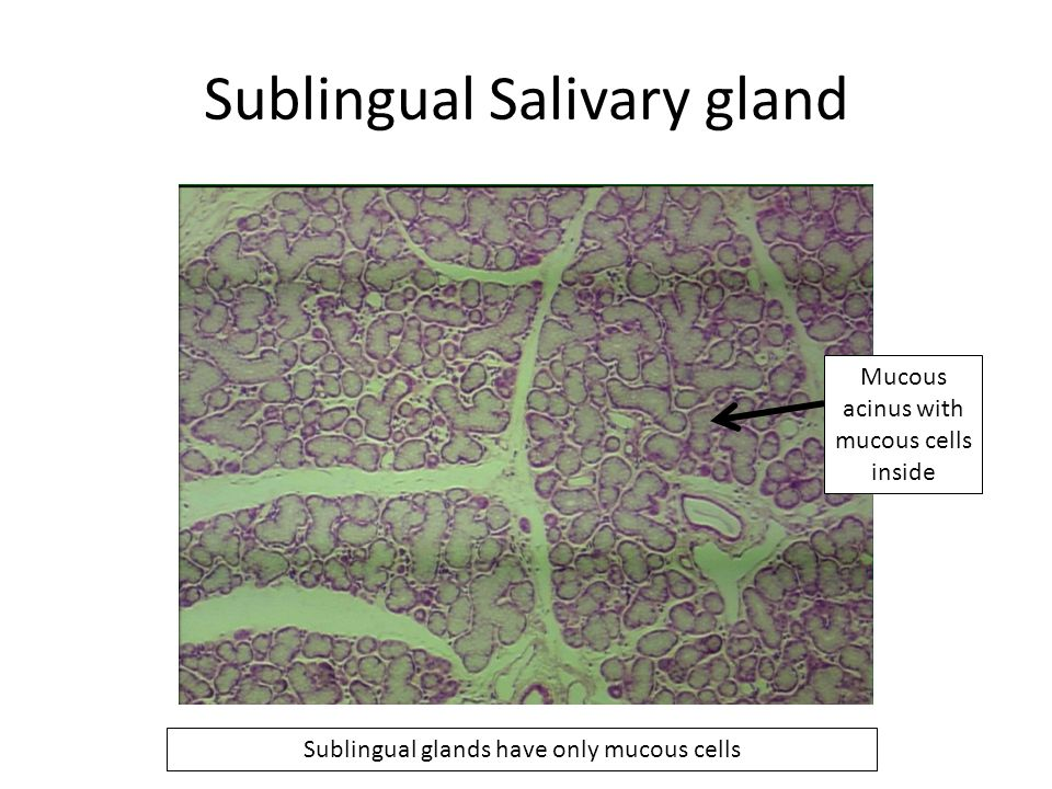 Sublingual Salivary gland Mucous acinus with mucous cells inside Sublingual glands have only mucous cells