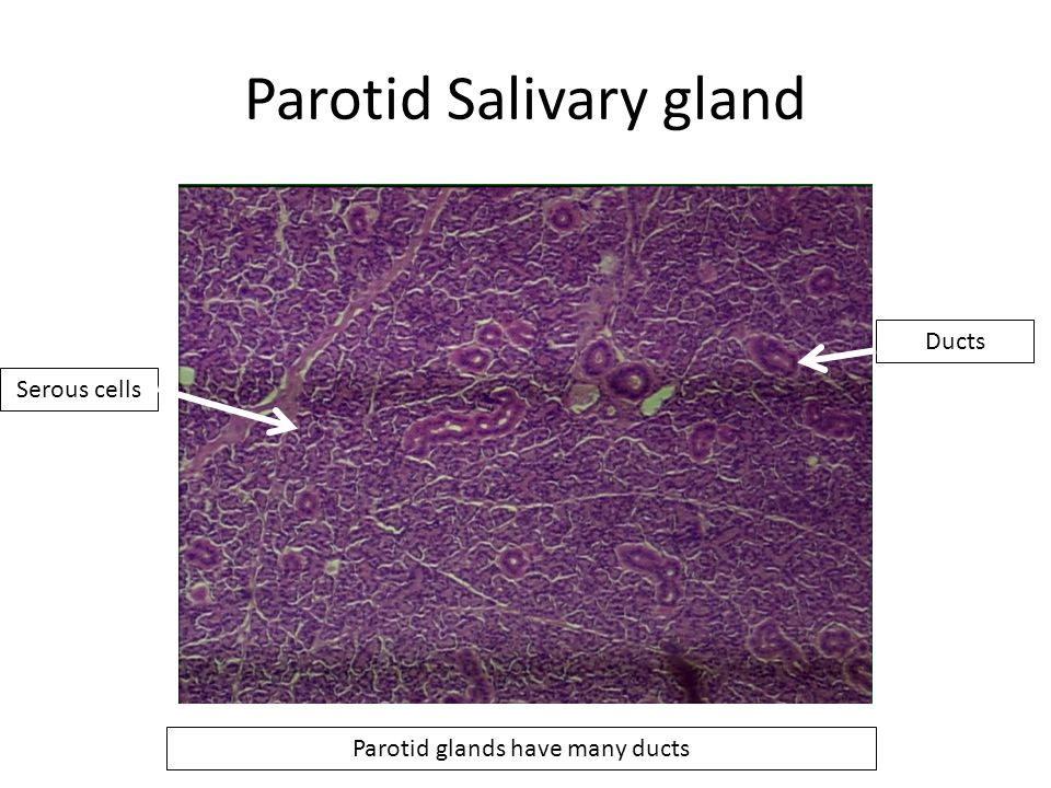 Parotid Salivary gland Parotid glands have many ducts Serous cells Ducts