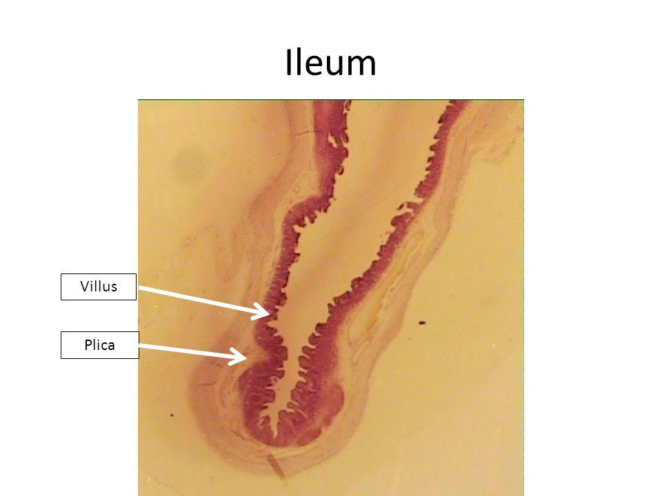 Ileum The villi of the ileum are not individually separate Villi