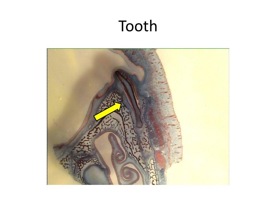 Enamel Dentin Pulp