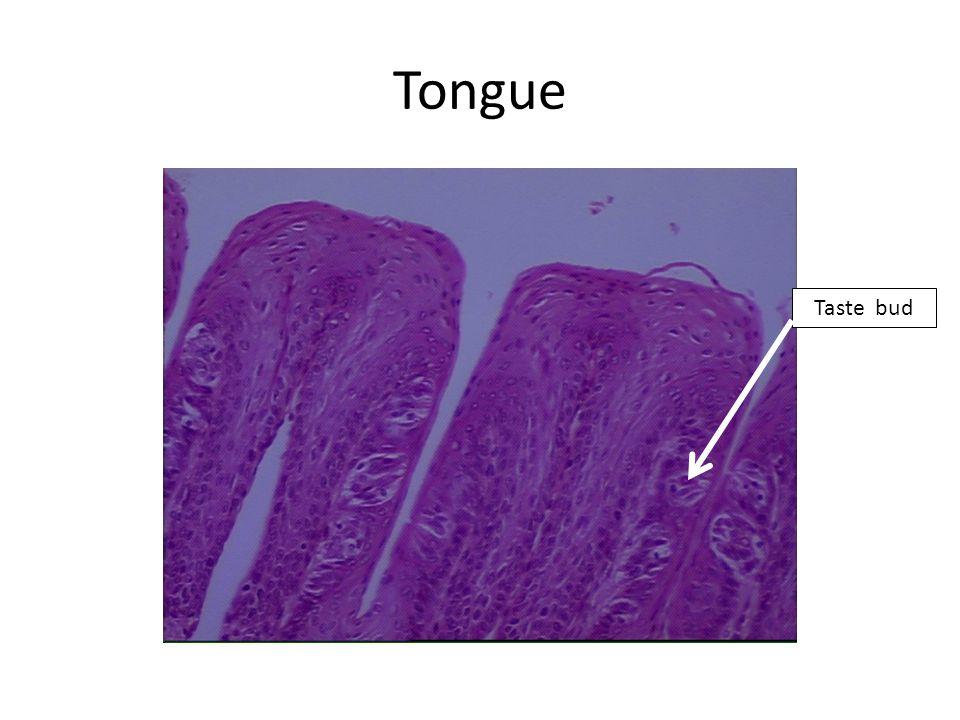 Tongue Cross section of skeletal muscle Mucous acini of sublingual salivary gland Longitudinal section of skeletal muscle OMIT: Serous cells of salivary gland