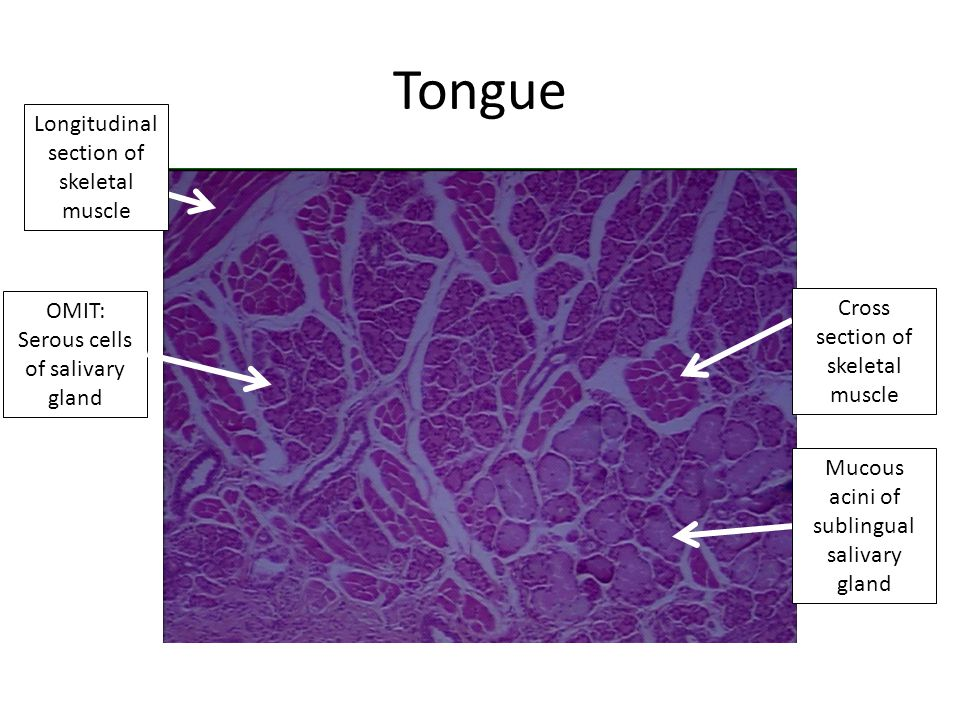 Tongue Cross section of skeletal muscle Mucous acini of sublingual salivary gland Longitudinal section of skeletal muscle OMIT: Serous cells of salivary gland