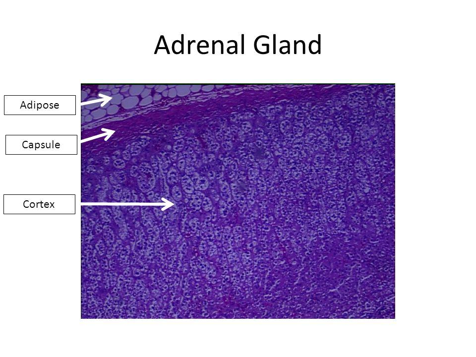 Adrenal Gland Capsule Cortex Adipose