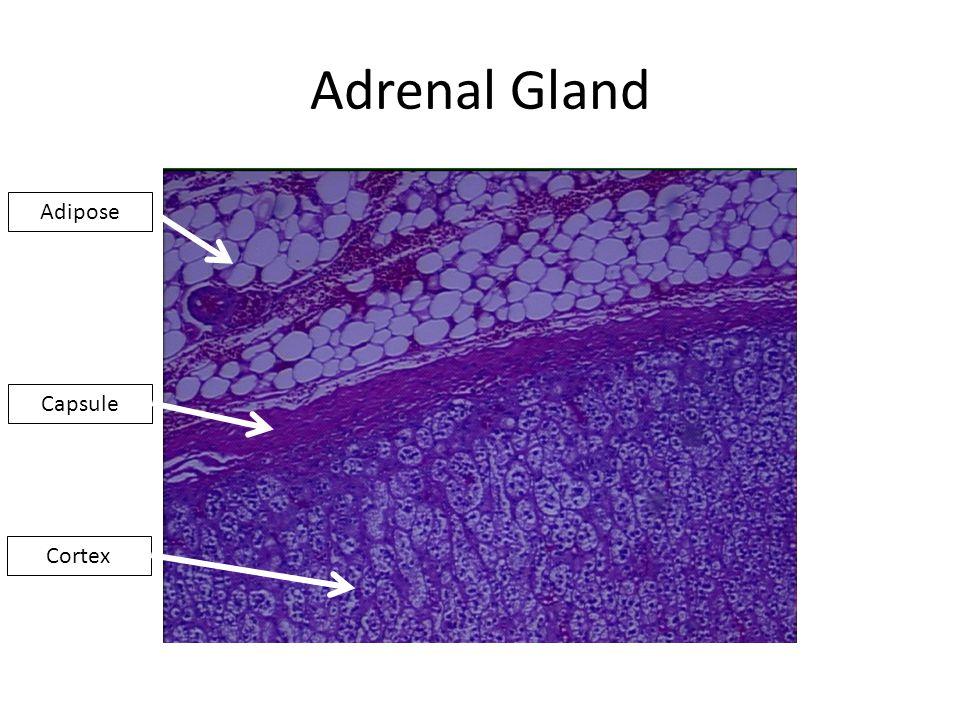Adrenal Gland Adipose Capsule Cortex