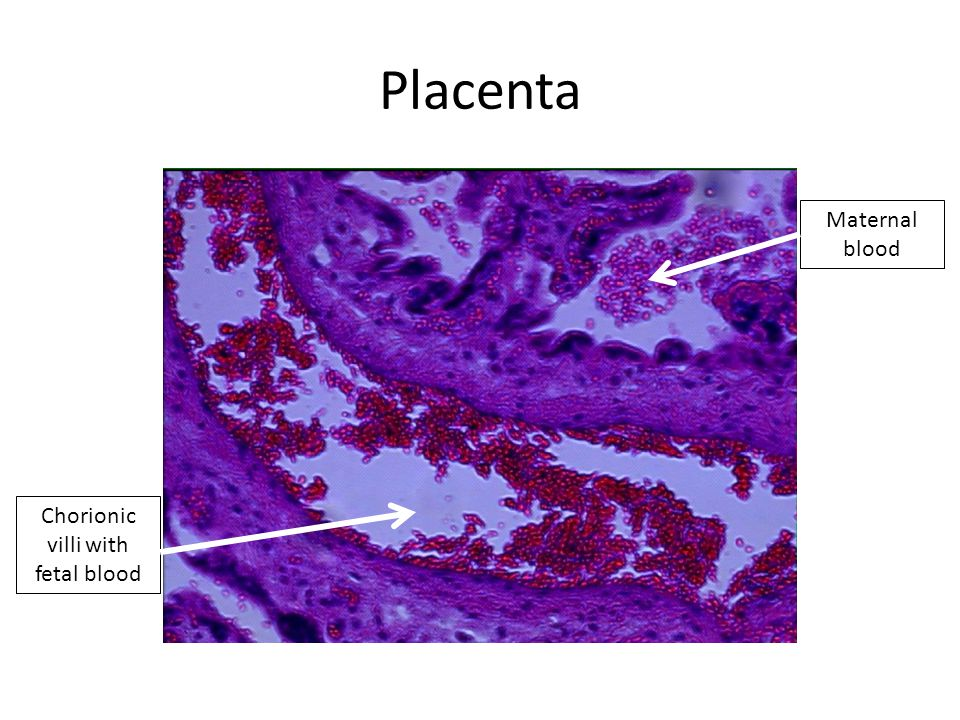 Placenta Chorionic villi with fetal blood Maternal blood