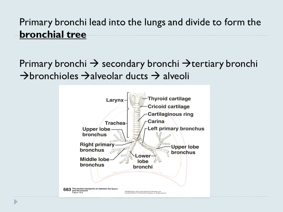 Primary bronchi lead into the lungs and divide to form the bronchial tree Primary bronchi  secondary bronchi  tertiary bronchi  bronchioles  alveo