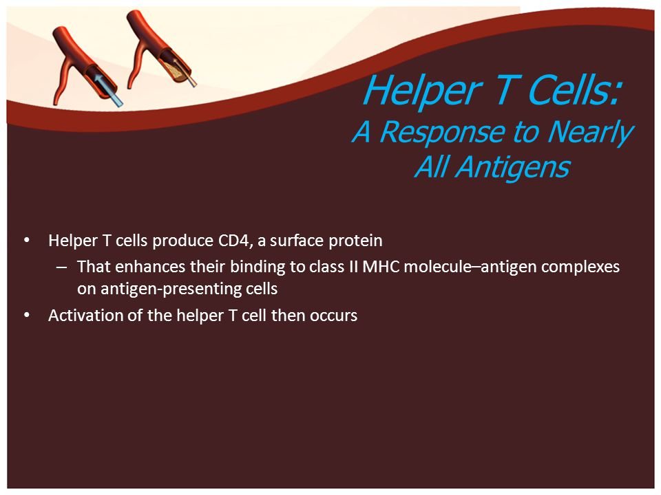 Helper T Cells: A Response to Nearly All Antigens Helper T cells produce CD4, a surface protein – That enhances their binding to class II MHC molecule