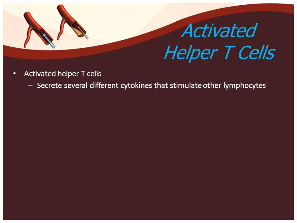Activated Helper T Cells Activated helper T cells – Secrete several different cytokines that stimulate other lymphocytes