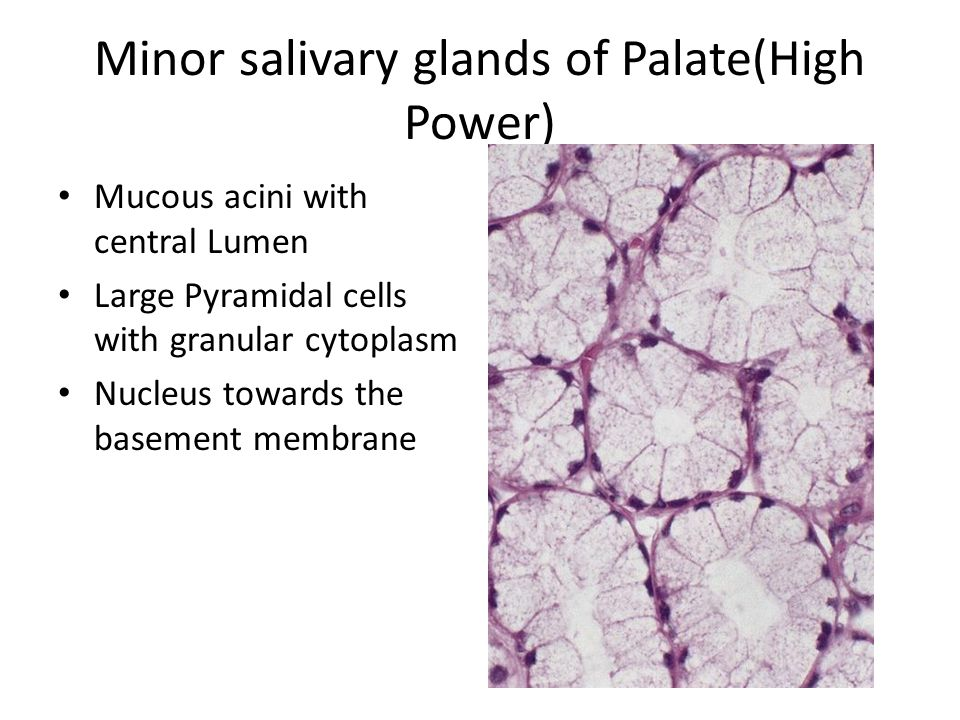Minor salivary glands of Palate(High Power) Mucous acini with central Lumen Large Pyramidal cells with granular cytoplasm Nucleus towards the basement membrane