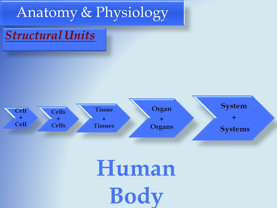 Anatomy & Physiology Cell + Cell Cells + Cells Tissue + Tissues Organ + Organs System + Systems Human Body Structural Units