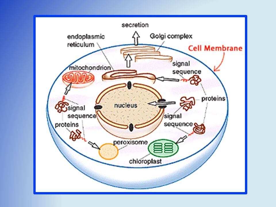 Membranes * Cell Membrane: - Structural. - Transportation.