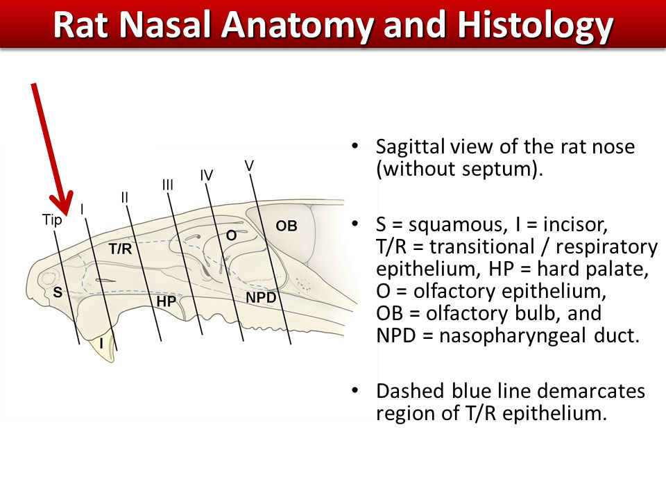 Rat Nasal Anatomy and Histology Sagittal view of the rat nose (without septum).