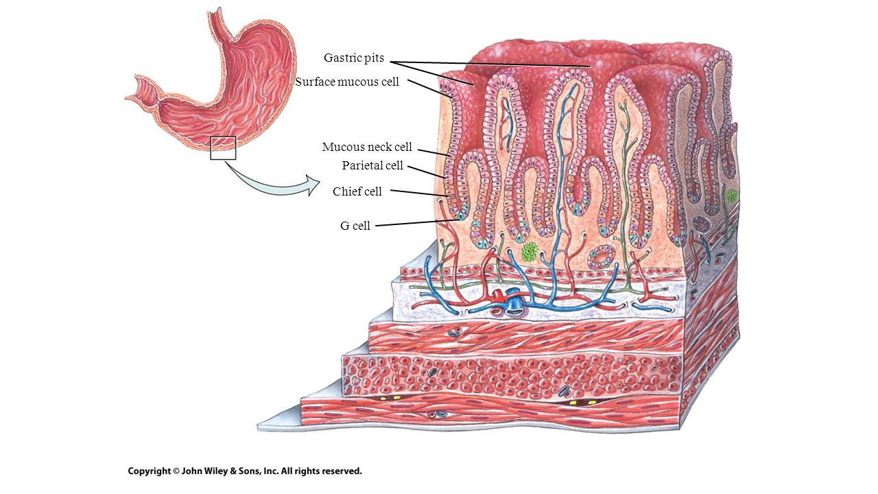Gastric pits Surface mucous cell Mucous neck cell Parietal cell Chief cell G cell