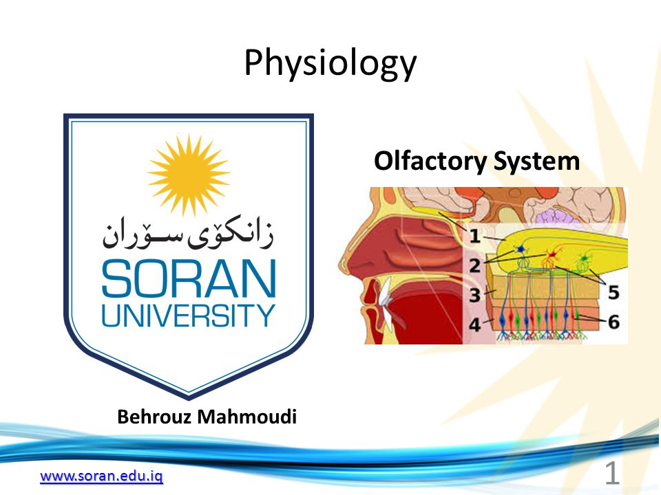 www.soran.edu.iq Olfactory thresholds and discrimination Substancemg/L of Air Ethyl ether5.83 Chloroform3.30 Pyridine0.03 Oil of peppermint0.02 Iodoform0.02 Butyric acid0.009 Propyl mercaptan0.006 Artificial musk0.00004 Methyl mercaptan0.0000004 Olfactory receptors respond only to substances in contact with olfactory epithelium and need to be dissolved in mucus Methyl marcaptan one of the substances in garlic can be smelled at very low concentration showing the remarkable sensitivity of olfactory receptors Humans can recognize more than 10.000 different odors However determination of intensity of odor is poor 12