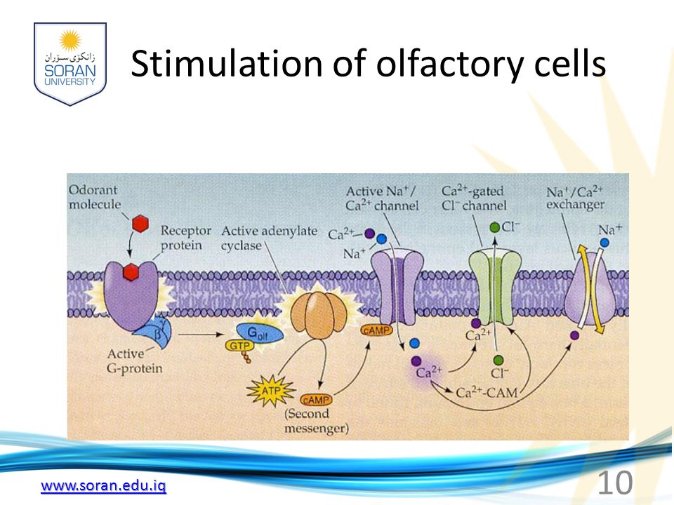 www.soran.edu.iq Stimulation of olfactory cells 10