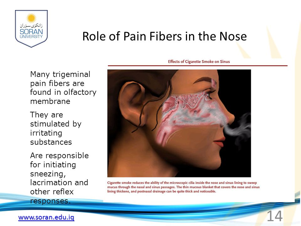 www.soran.edu.iq Role of Pain Fibers in the Nose Many trigeminal pain fibers are found in olfactory membrane They are stimulated by irritating substan