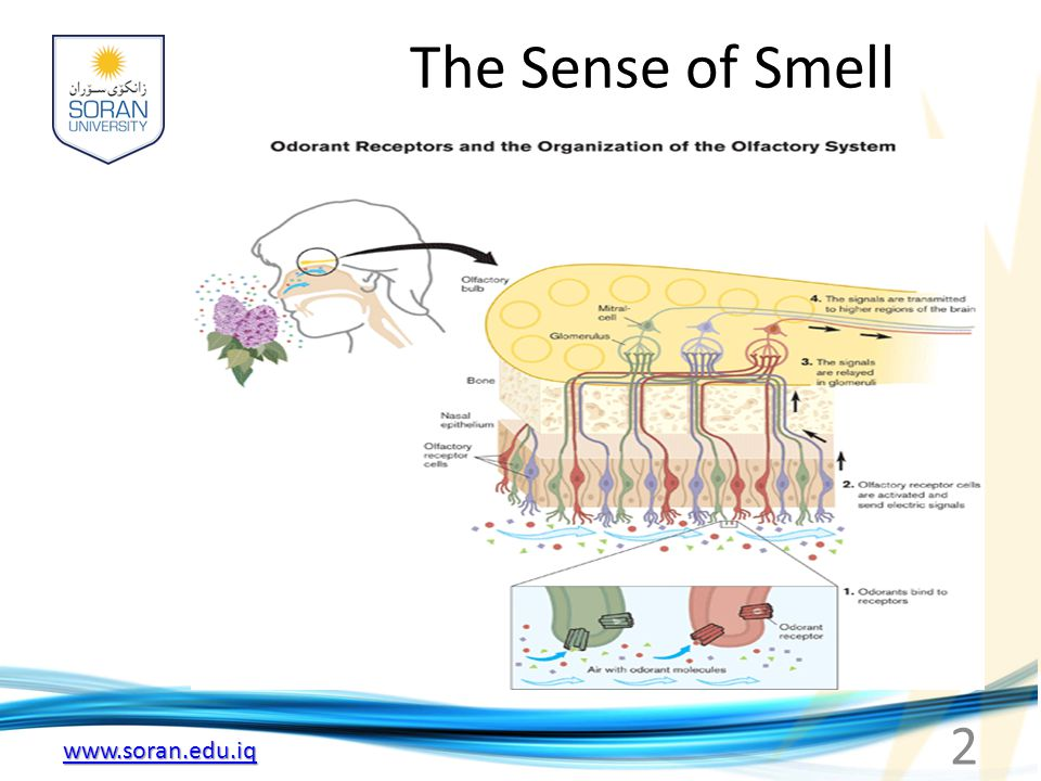 www.soran.edu.iq Olfactory Mucous Membrane -Olfactory receptor cells -Area of 5cm 2 in roof of nasal cavity near the septum -10 to 20 million receptor cells -Each olfactory receptor is a neuron -Olfactory mucous membrane is the place in body where NS is closest to external world 3
