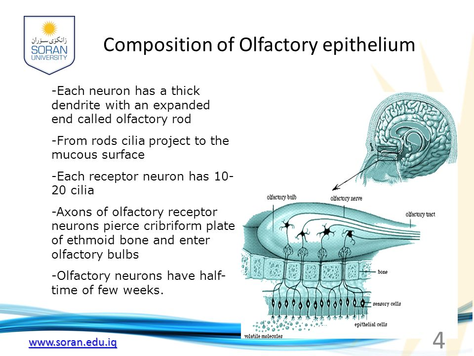 www.soran.edu.iq Composition of Olfactory epithelium -Each neuron has a thick dendrite with an expanded end called olfactory rod -From rods cilia proj