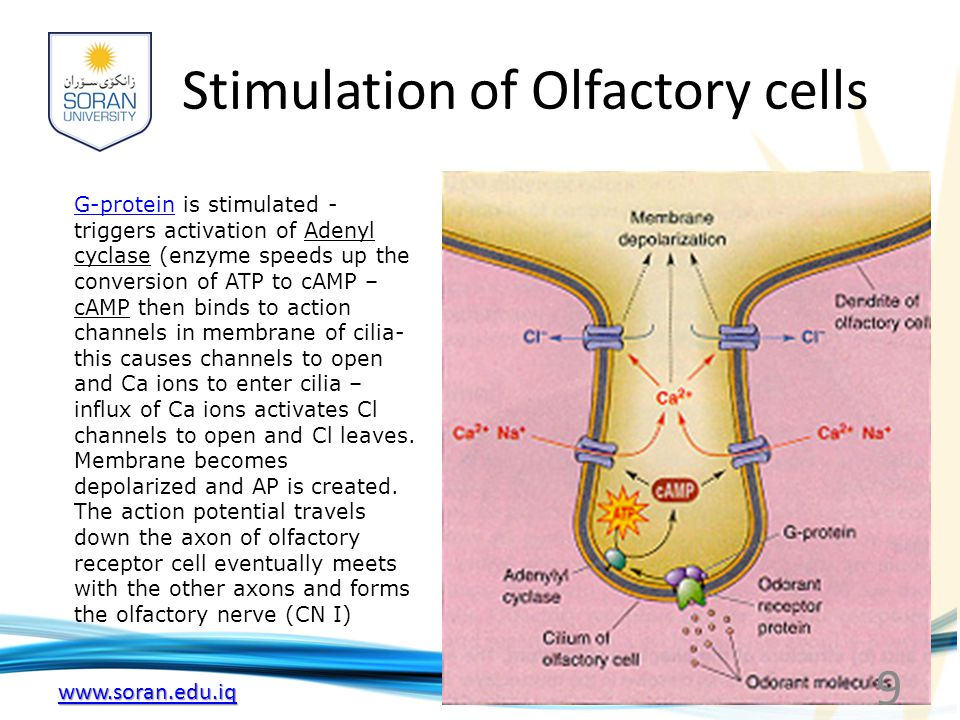 www.soran.edu.iq Stimulation of olfactory cells 10