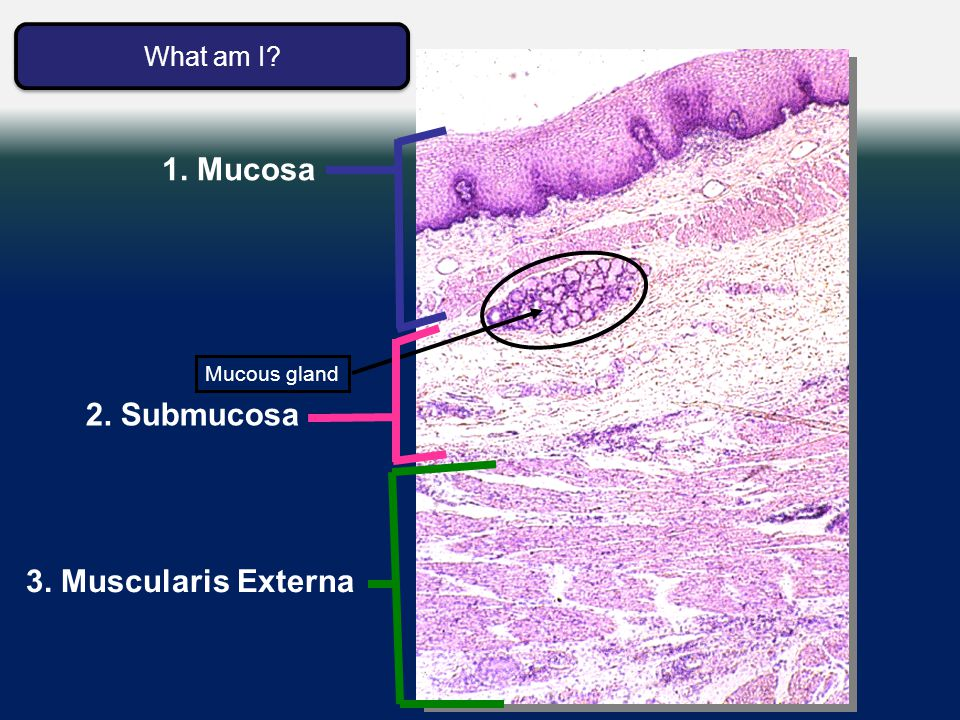 Esophagus Histology 3. Muscularis Externa 1. Mucosa Mucous gland 2. Submucosa What am I? What am I?
