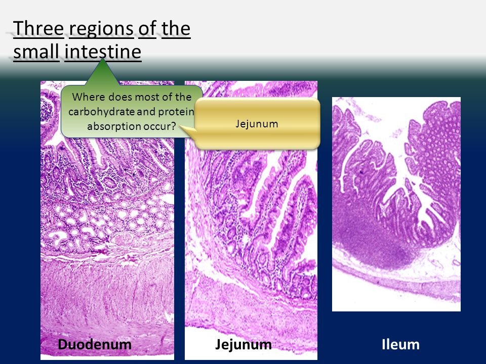 Three regions of the small intestine IleumJejunumDuodenum Where does most of the carbohydrate and protein absorption occur.