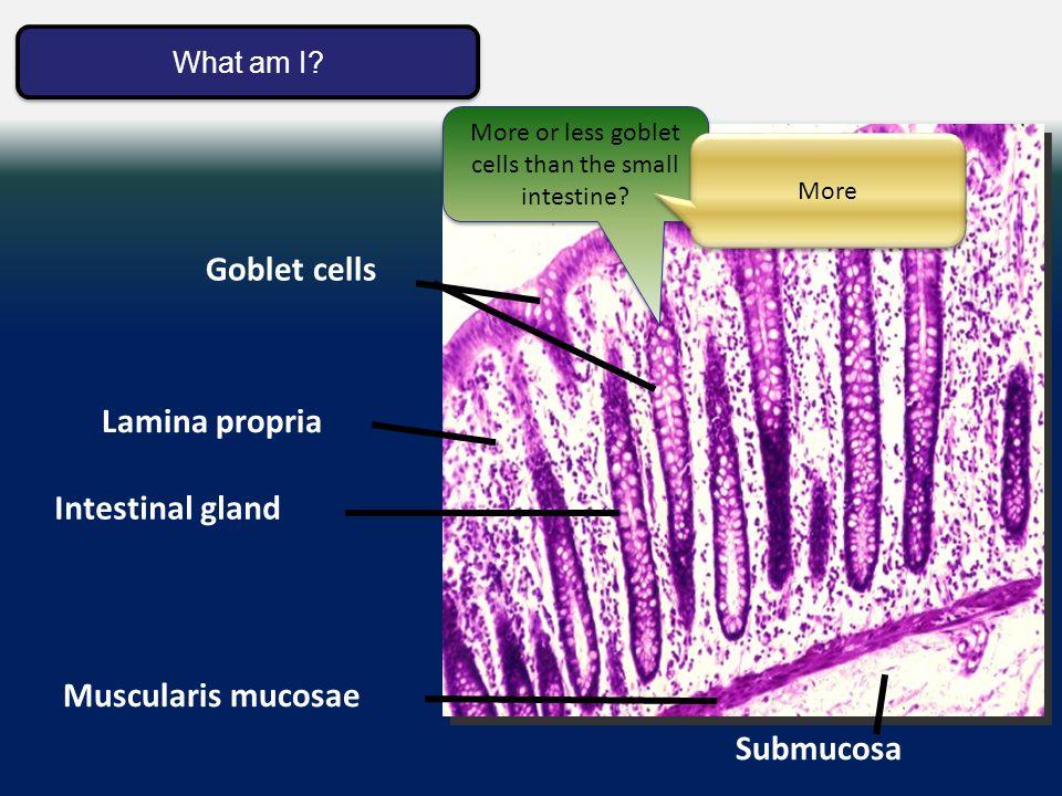 Large intestine mucosa Submucosa Lamina propria Muscularis mucosae Intestinal gland Goblet cells What am I.