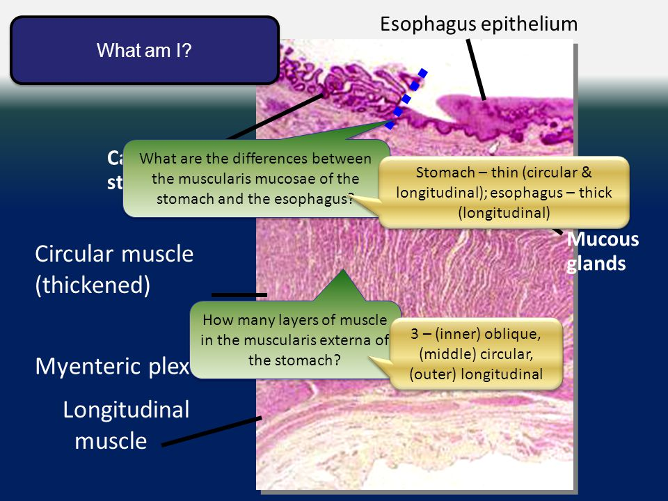 Esophagus-stomach junction Cardiac stomach Circular muscle (thickened) Esophagus epithelium Mucous glands Longitudinal muscle Myenteric plexus What am I.