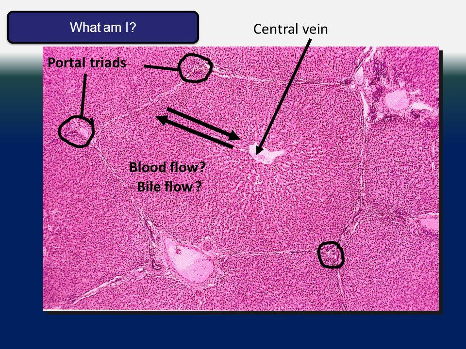 Liver lobule Central vein Bile flow Blood flow Portal triads What am I What am I