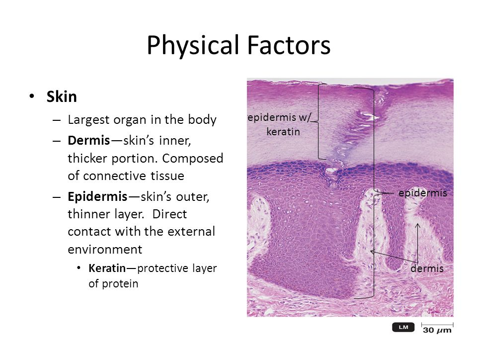 Physical Factors Skin – Largest organ in the body – Dermis—skin's inner, thicker portion.