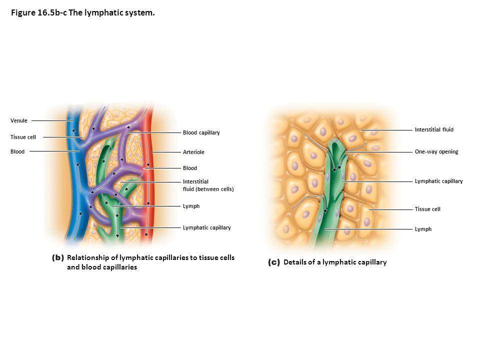 Lymphatic capillary Lymph Interstitial fluid (between cells) Blood Arteriole Blood capillary Blood Tissue cell Venule Relationship of lymphatic capillaries to tissue cells and blood capillaries Figure 16.5b-c The lymphatic system.