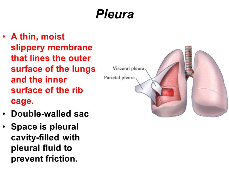 Pleura A thin, moist slippery membrane that lines the outer surface of the lungs and the inner surface of the rib cage. Double-walled sac Space is ple