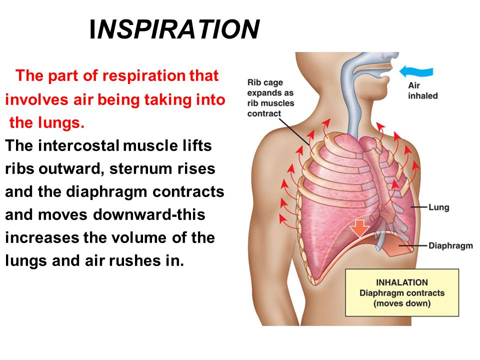 INSPIRATION The part of respiration that involves air being taking into the lungs. The intercostal muscle lifts ribs outward, sternum rises and the di