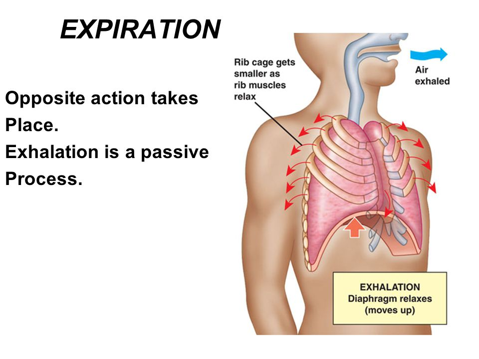 EXPIRATION Opposite action takes Place. Exhalation is a passive Process.
