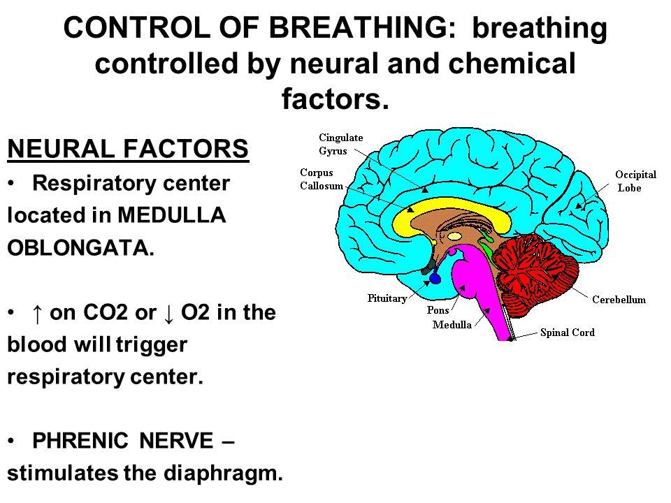 CONTROL OF BREATHING: breathing controlled by neural and chemical factors. NEURAL FACTORS Respiratory center located in MEDULLA OBLONGATA. ↑ on CO2 or