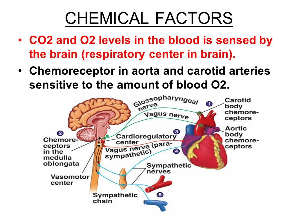 CHEMICAL FACTORS CO2 and O2 levels in the blood is sensed by the brain (respiratory center in brain). Chemoreceptor in aorta and carotid arteries sens