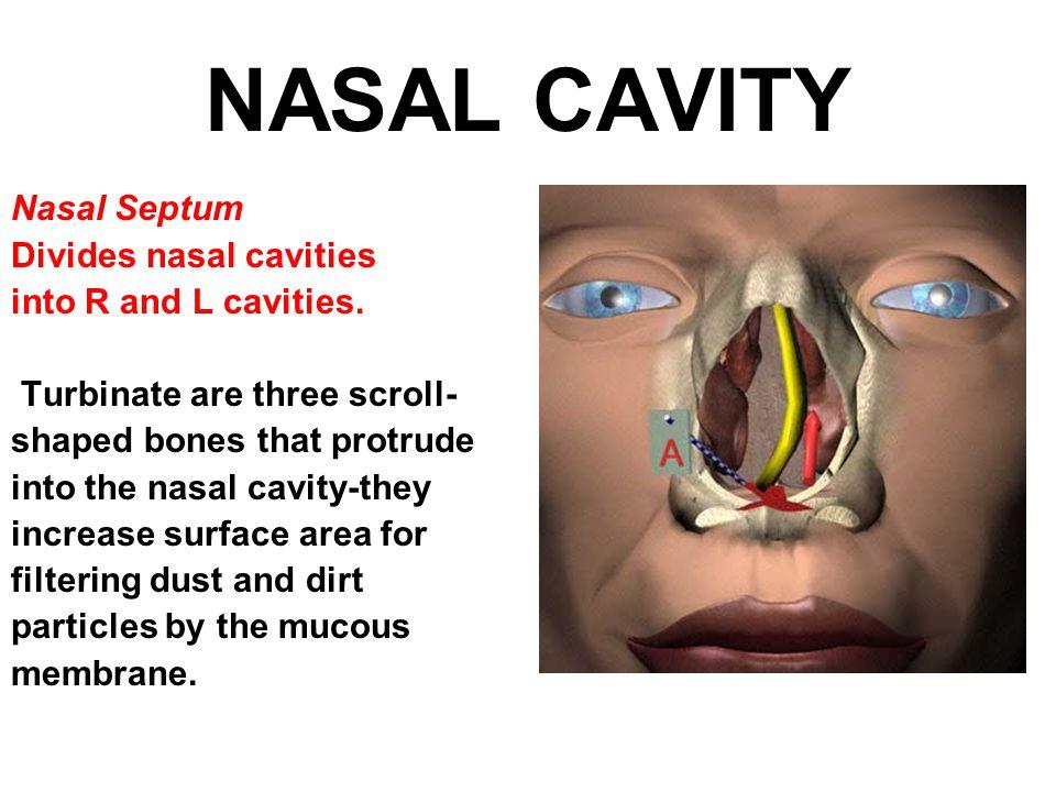 NASAL CAVITY Nasal Septum Divides nasal cavities into R and L cavities.