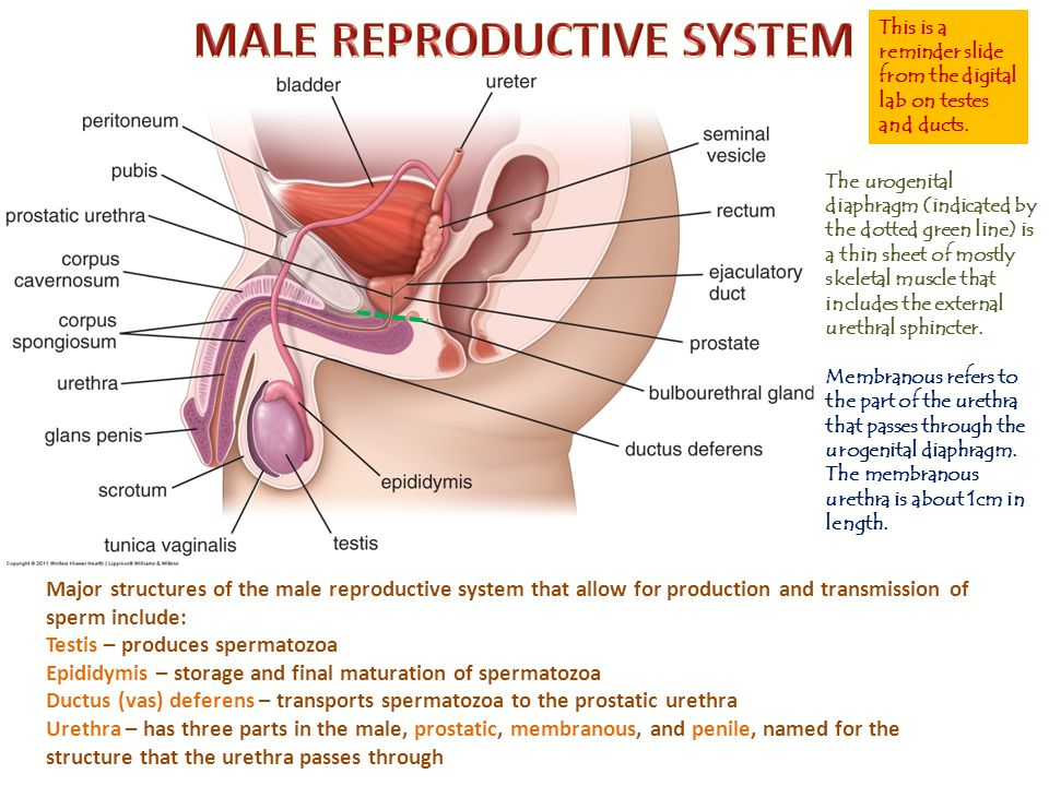 In our slide of the prostate gland in this region, the anterior wall is torn away, so you will be looking at the region inside the red rectangle.