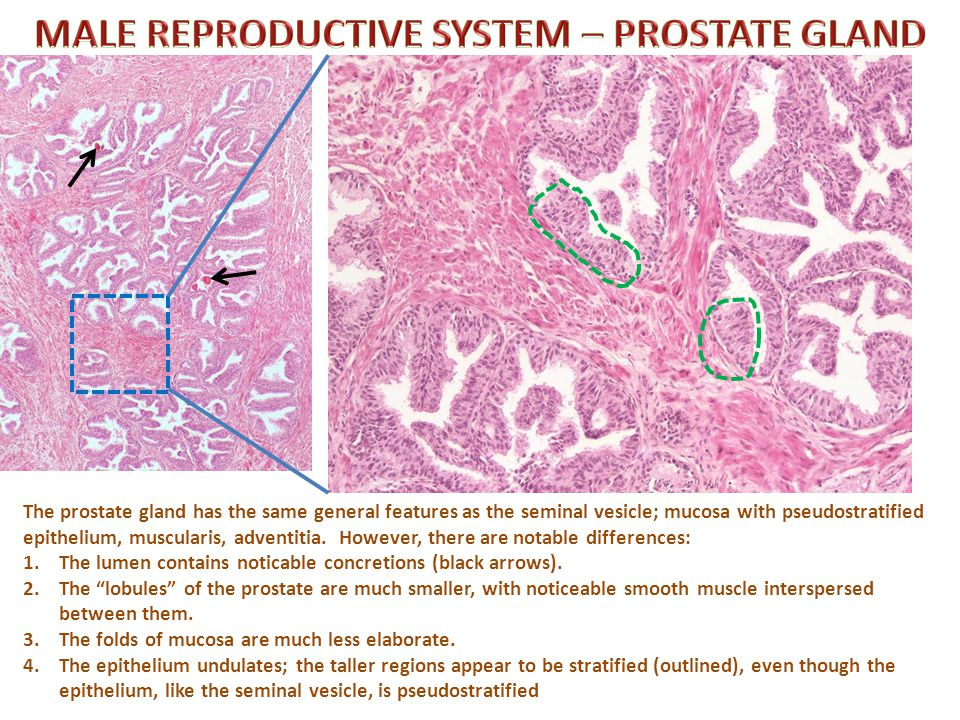 Self-check: Identify the outlined TISSUES. (advance slide for answers)
