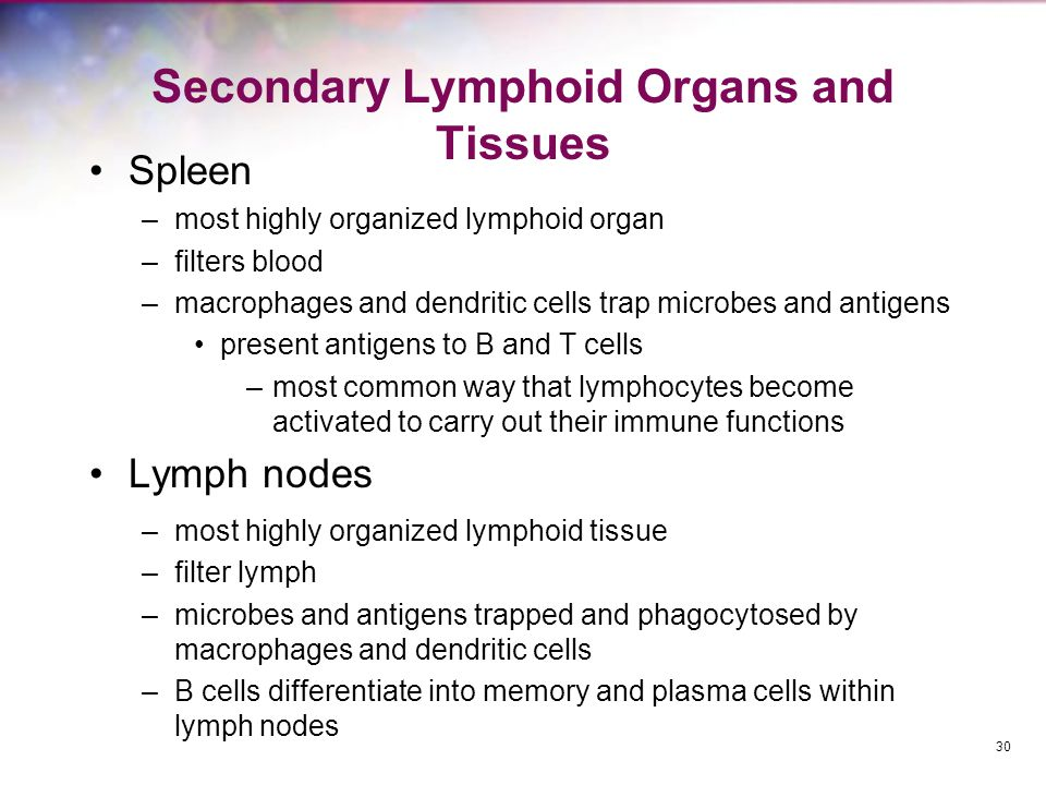 Secondary Lymphoid Organs and Tissues Spleen –most highly organized lymphoid organ –filters blood –macrophages and dendritic cells trap microbes and a