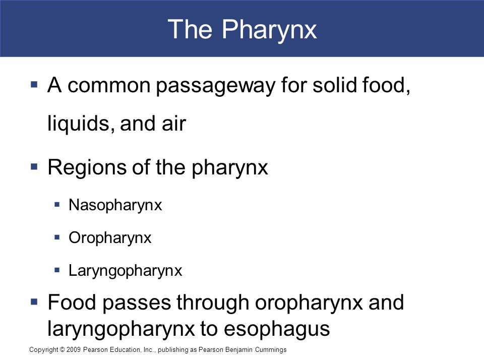 Copyright © 2009 Pearson Education, Inc., publishing as Pearson Benjamin Cummings The Pharynx  A common passageway for solid food, liquids, and air 