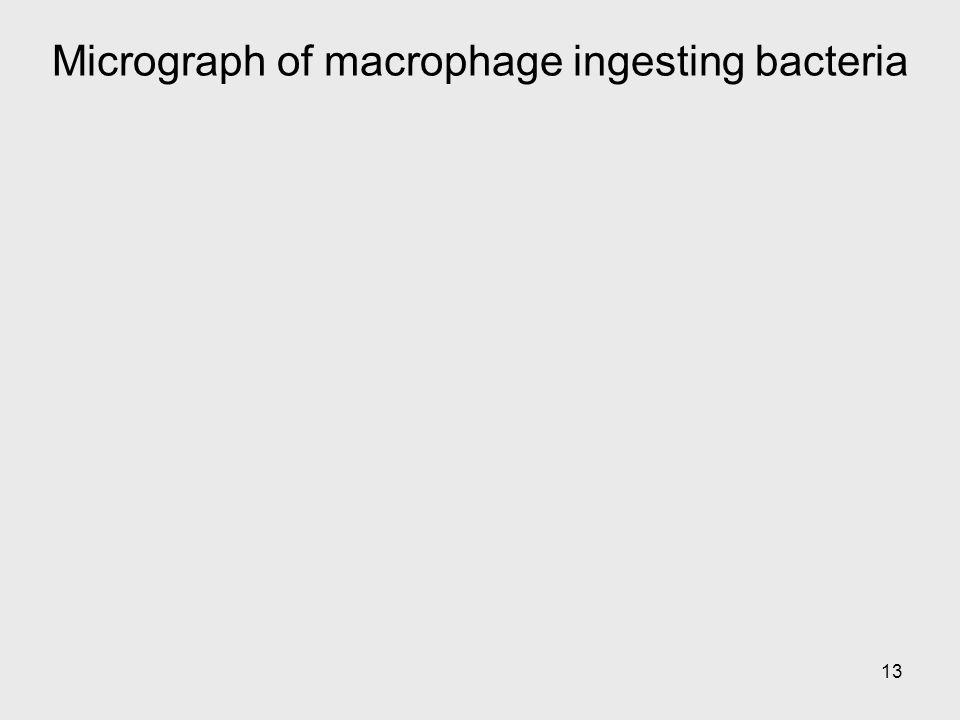 13 Micrograph of macrophage ingesting bacteria