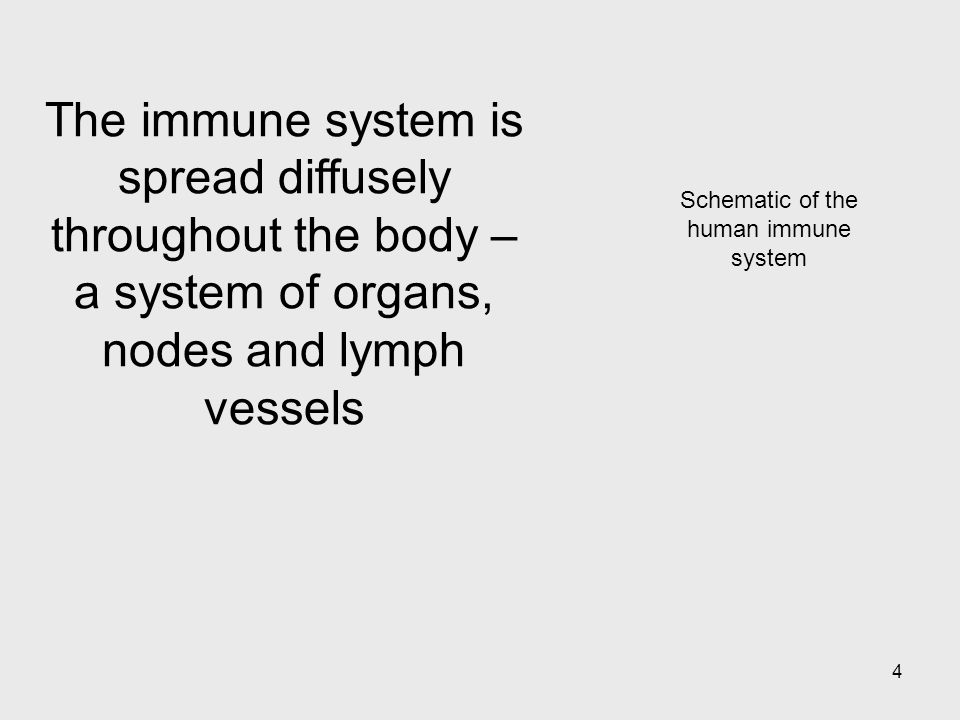 4 Schematic of the human immune system The immune system is spread diffusely throughout the body – a system of organs, nodes and lymph vessels