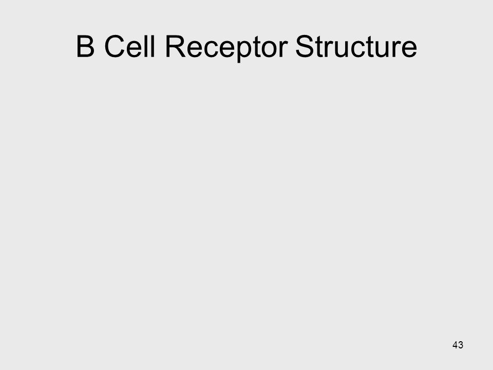 43 B Cell Receptor Structure