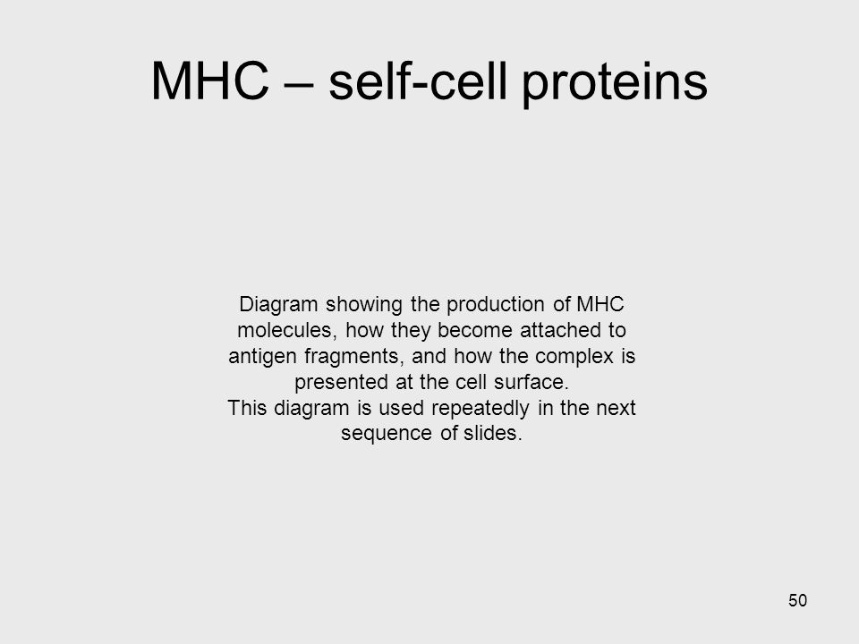 50 Diagram showing the production of MHC molecules, how they become attached to antigen fragments, and how the complex is presented at the cell surfac