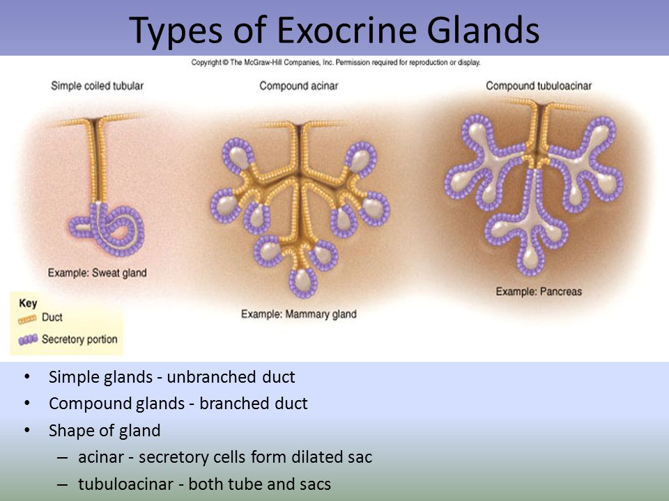 Types of Exocrine Glands Simple glands - unbranched duct Compound glands - branched duct Shape of gland – acinar - secretory cells form dilated sac – tubuloacinar - both tube and sacs