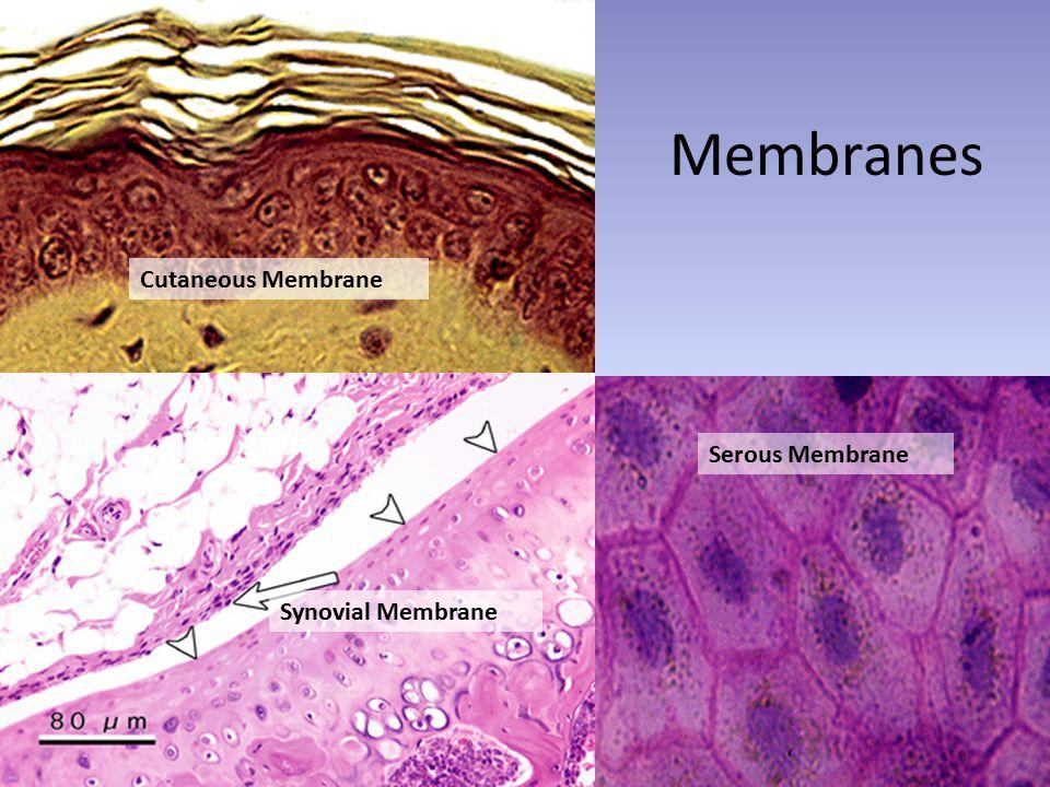 Membranes Synovial Membrane Cutaneous Membrane Serous Membrane