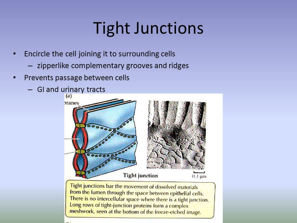 Tight Junctions Encircle the cell joining it to surrounding cells – zipperlike complementary grooves and ridges Prevents passage between cells – GI and urinary tracts