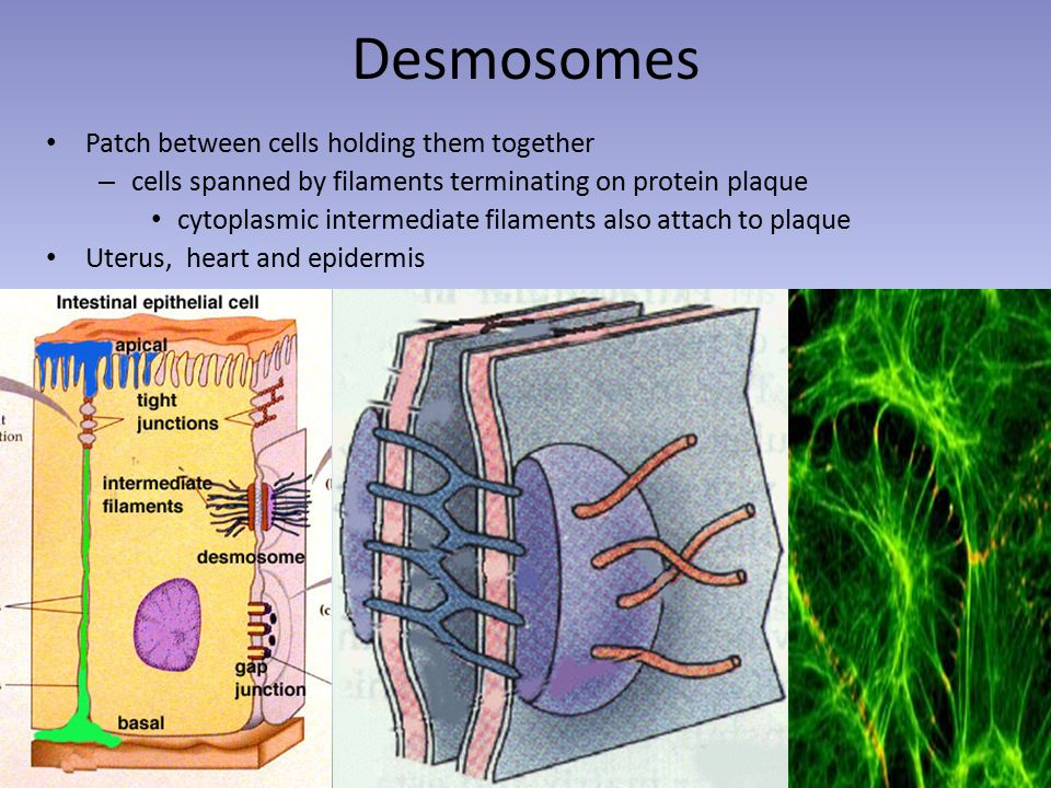 Desmosomes Patch between cells holding them together – cells spanned by filaments terminating on protein plaque cytoplasmic intermediate filaments also attach to plaque Uterus, heart and epidermis