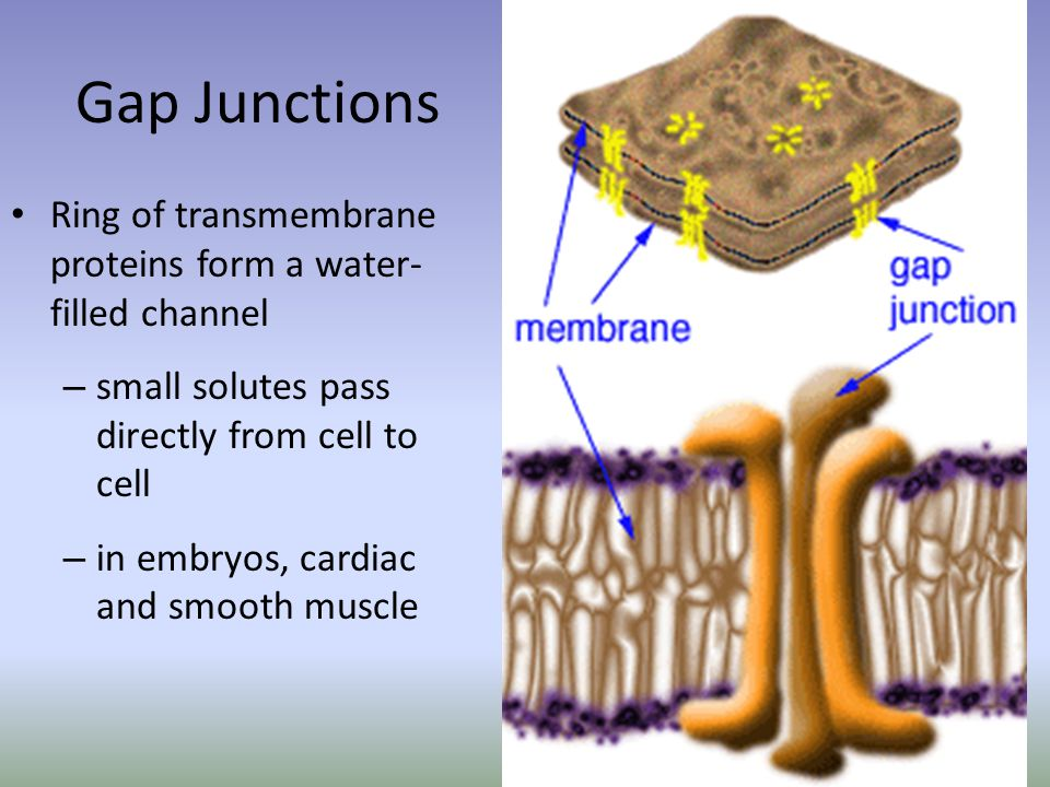 Gap Junctions Ring of transmembrane proteins form a water- filled channel – small solutes pass directly from cell to cell – in embryos, cardiac and smooth muscle