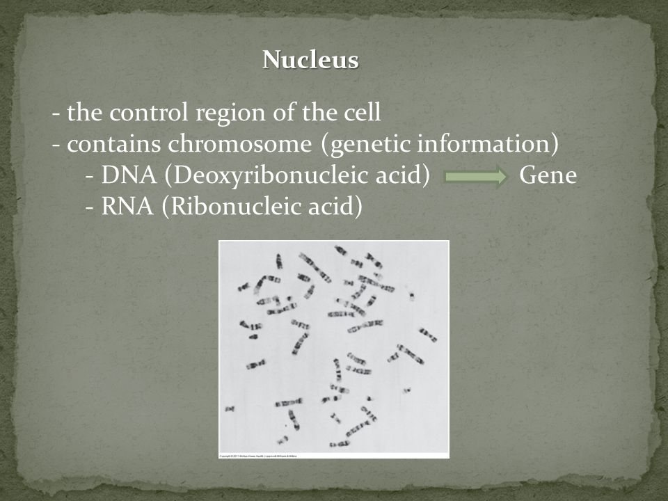 Nucleus - the control region of the cell - contains chromosome (genetic information) - DNA (Deoxyribonucleic acid)Gene - RNA (Ribonucleic acid)